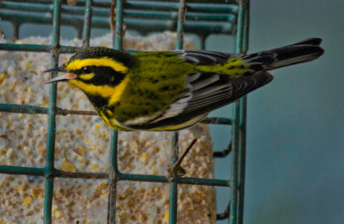 Welcome New Birds With Suet