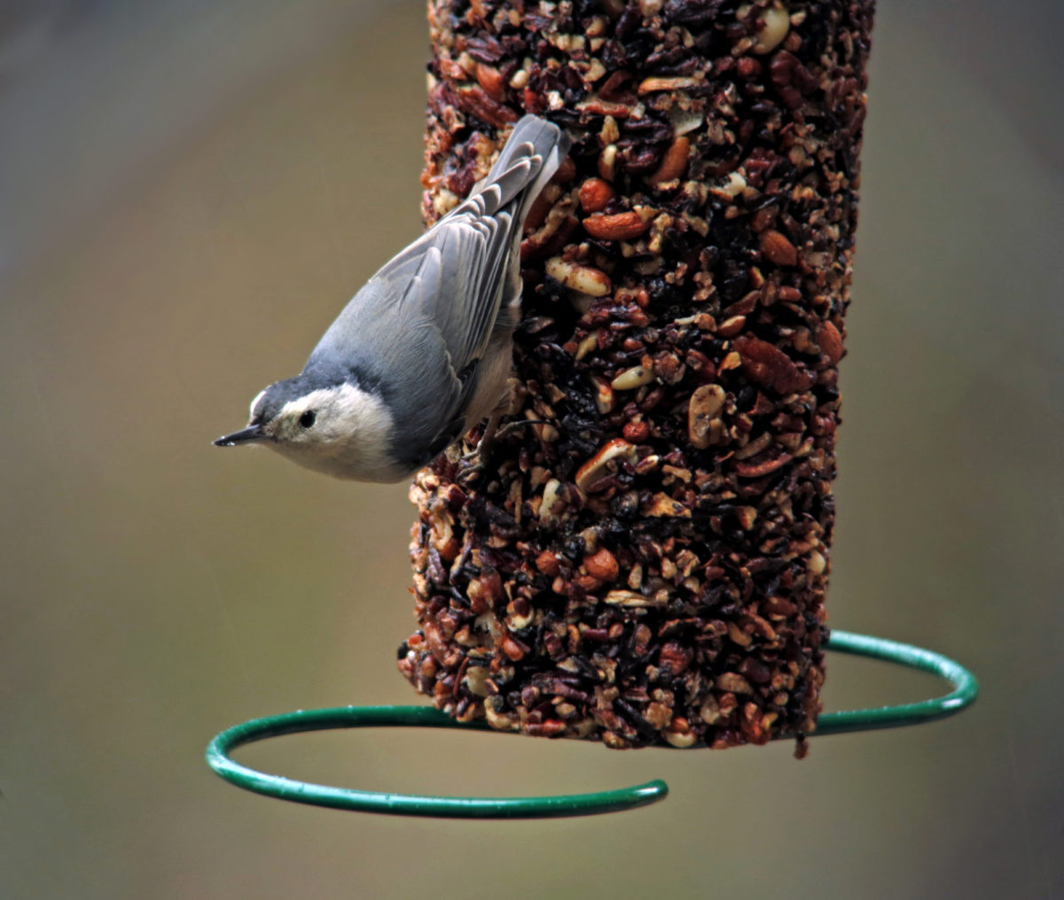 White-breasted Nuthatches - Backyard Acrobats