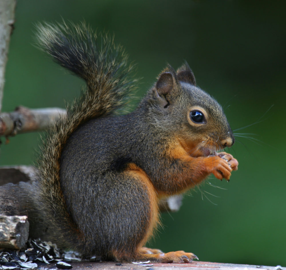 Hot Meats: A Squirrel Turn-off