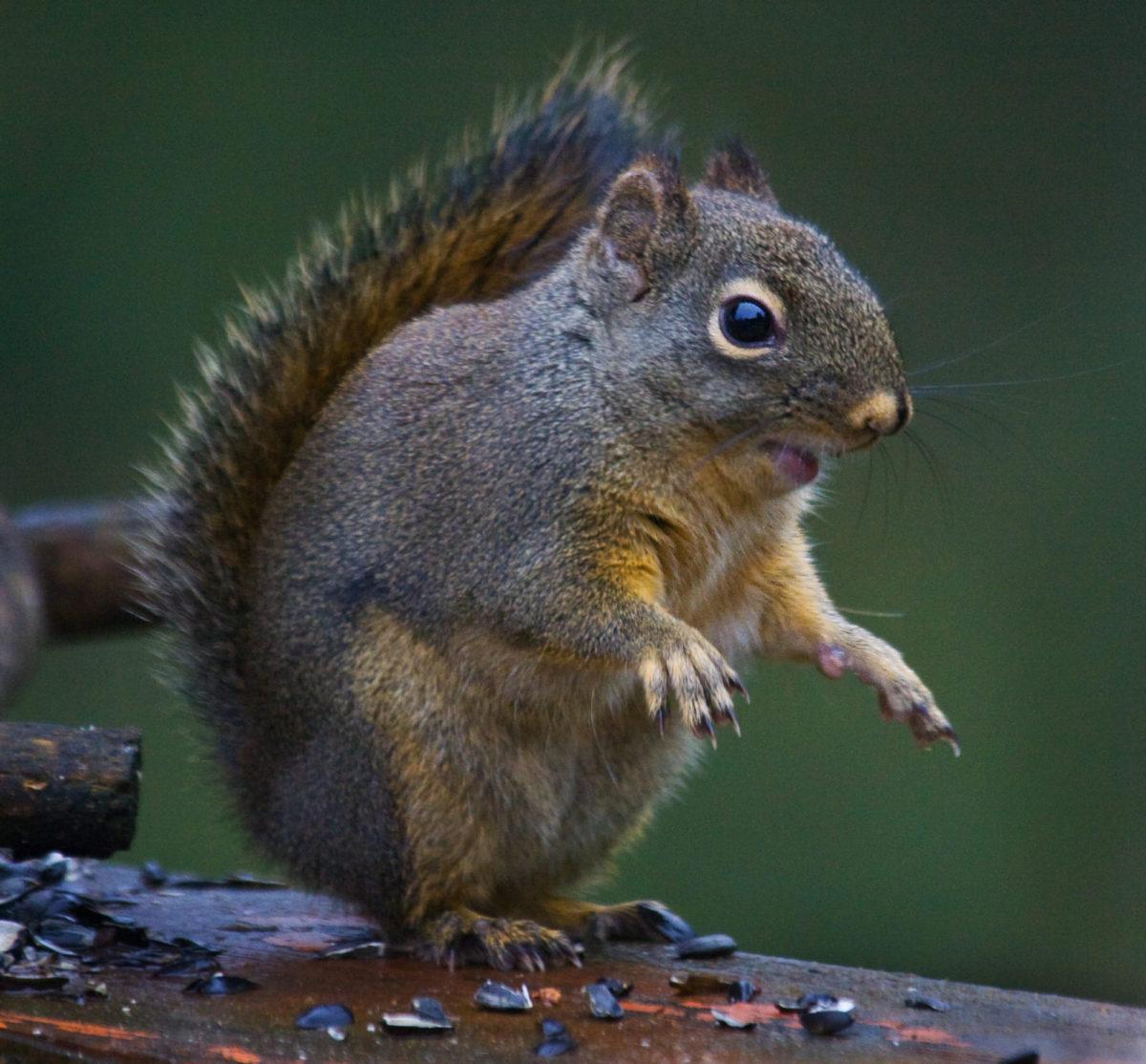 Squirrels - Backyard Buddies Or Furry Felons?