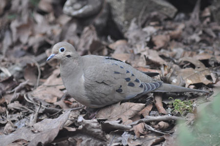 Mourning Dove | Backyard Bird Shop