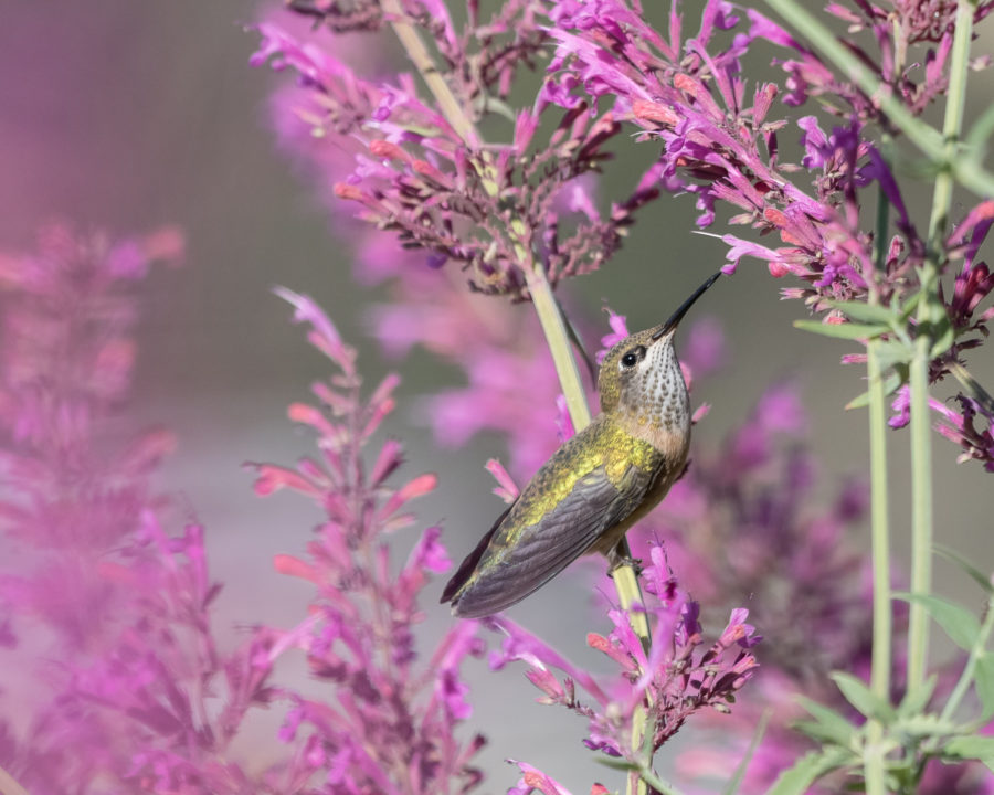 Facts to Keep in Mind when Feeding Hummingbirds