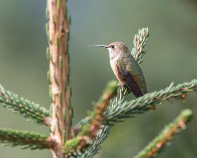 Those Wonderful Hummingbirds