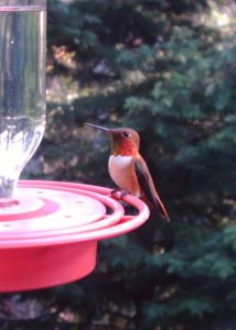 Rufous_Hummingbird_3_040108_Wingscapes1