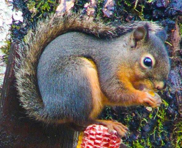 douglas-squirrel-on-corn